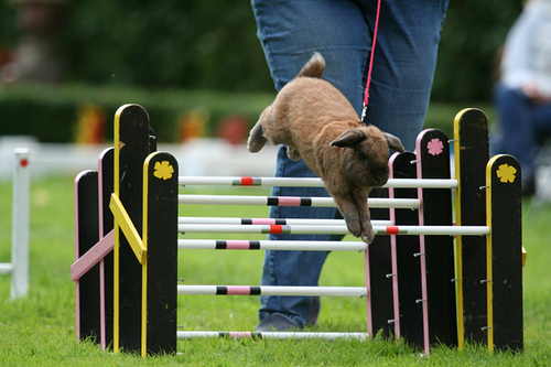 Show Jumping Bunnies Bunny Show Jumping is