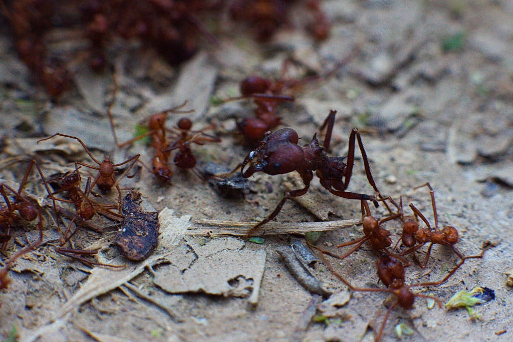 Move over, fire ants. Crazy ants are the new most-abhorred pest on the block. (Image:  Gert Steenssens/ flickr)